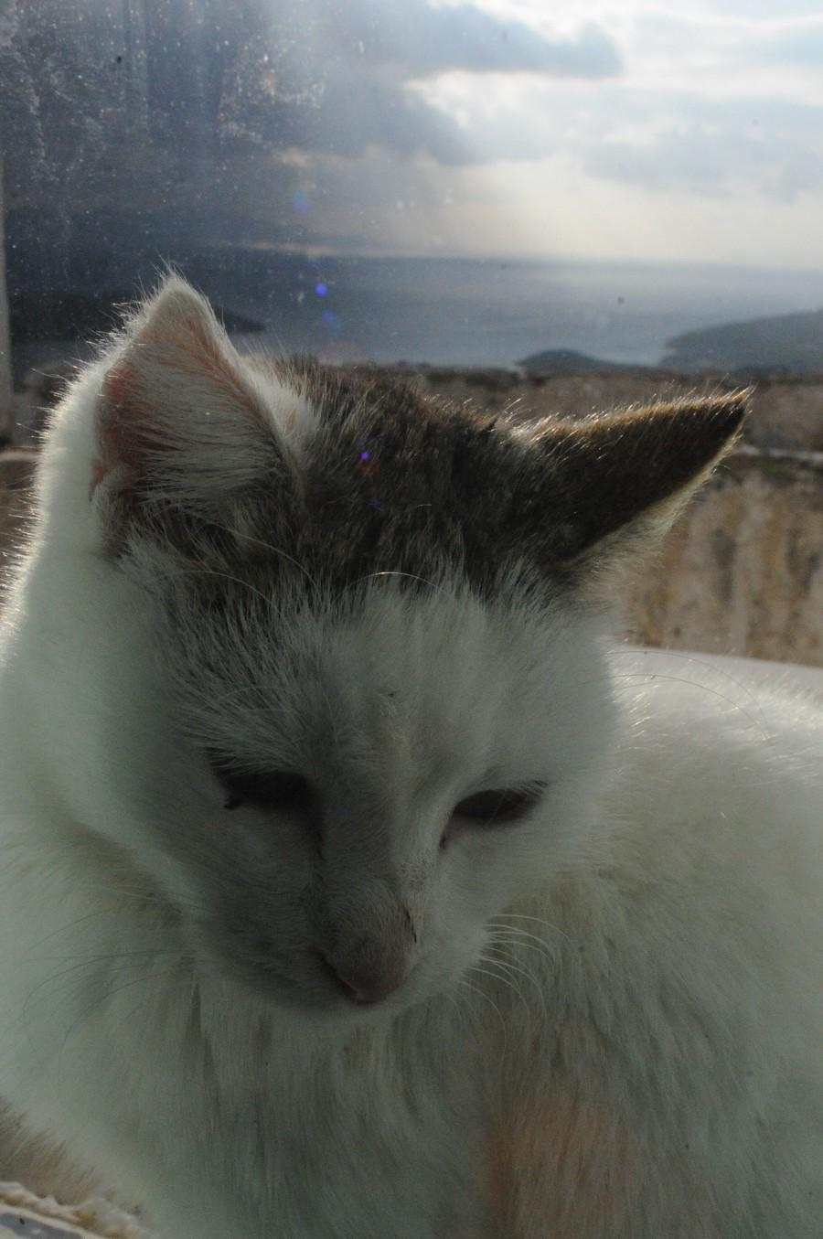 bb9ed5e0a72c Ιογενής Ανοσοανερκεια της Γάτας - FIV - Ailouros Iatreio gia Gates